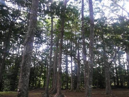 Rudraksha Forest.